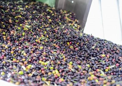 Une partie de la récolte d'olives avant le tri