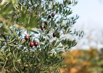 L'huile d'olive, l'une des nombreuses spécialités culinaires de notre terroir